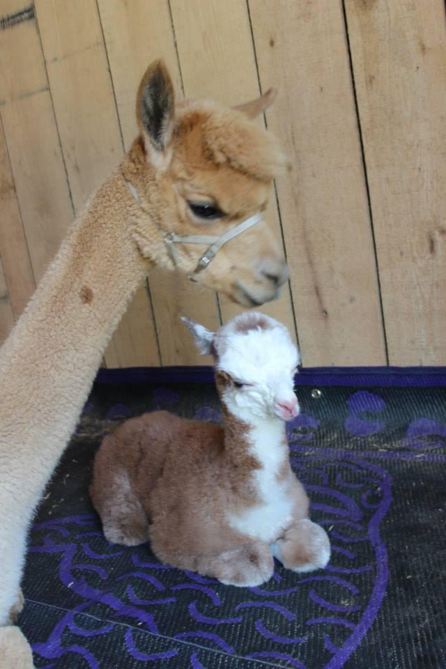 Baby Alpaca at the Foxwire Alpaca Farm in Williamsburg, Virginia